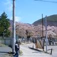 5月ギリ桜