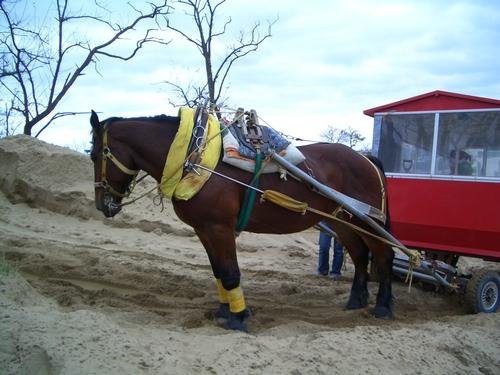 鳥取砂丘の馬